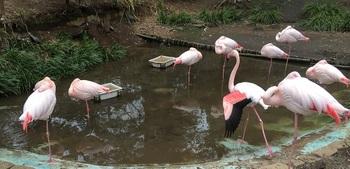 furamingo1.jpg