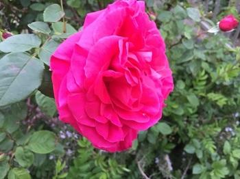 rose160427.jpg